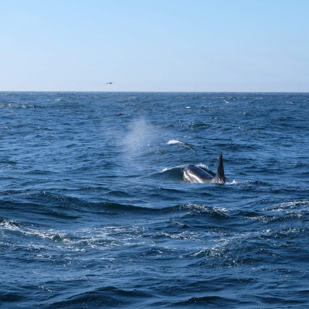 meeting orcas on a voyage to the midnight sun